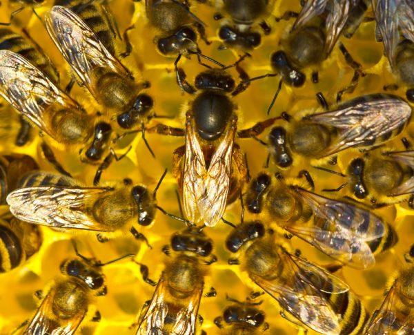 Nucléis abeilles